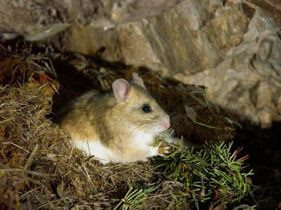 Bushy-Tailed Wood Rats